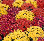 mums-mum-flower-fall-autumn