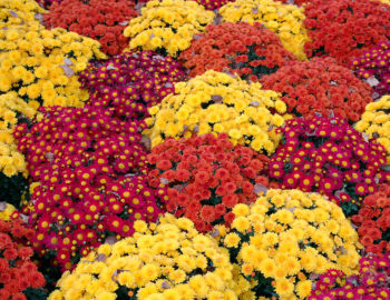 Mums 101 everything you need to know about falls favorite flower mums mum flower fall autumn mightylinksfo