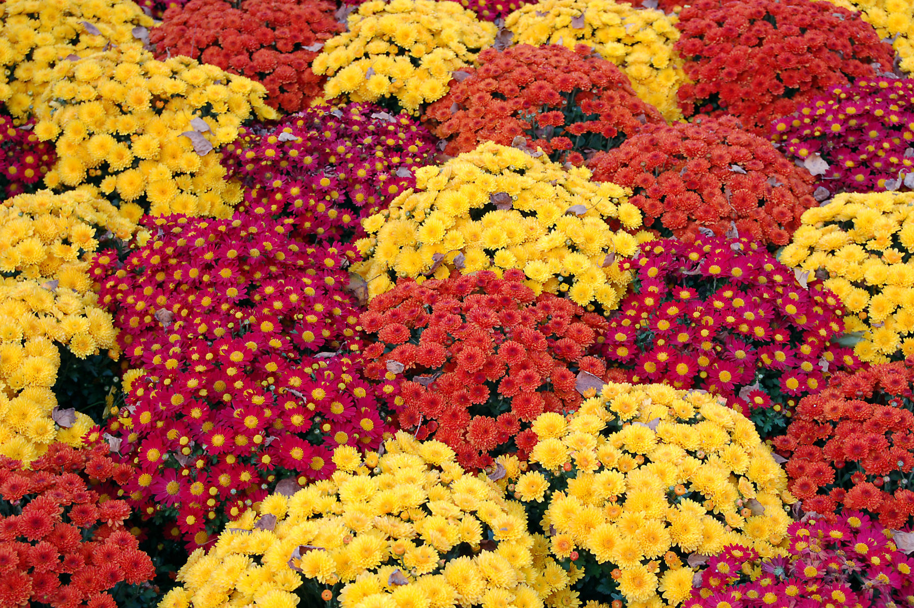 Mums 101 Everything You Need To Know About Falls Favorite Flower