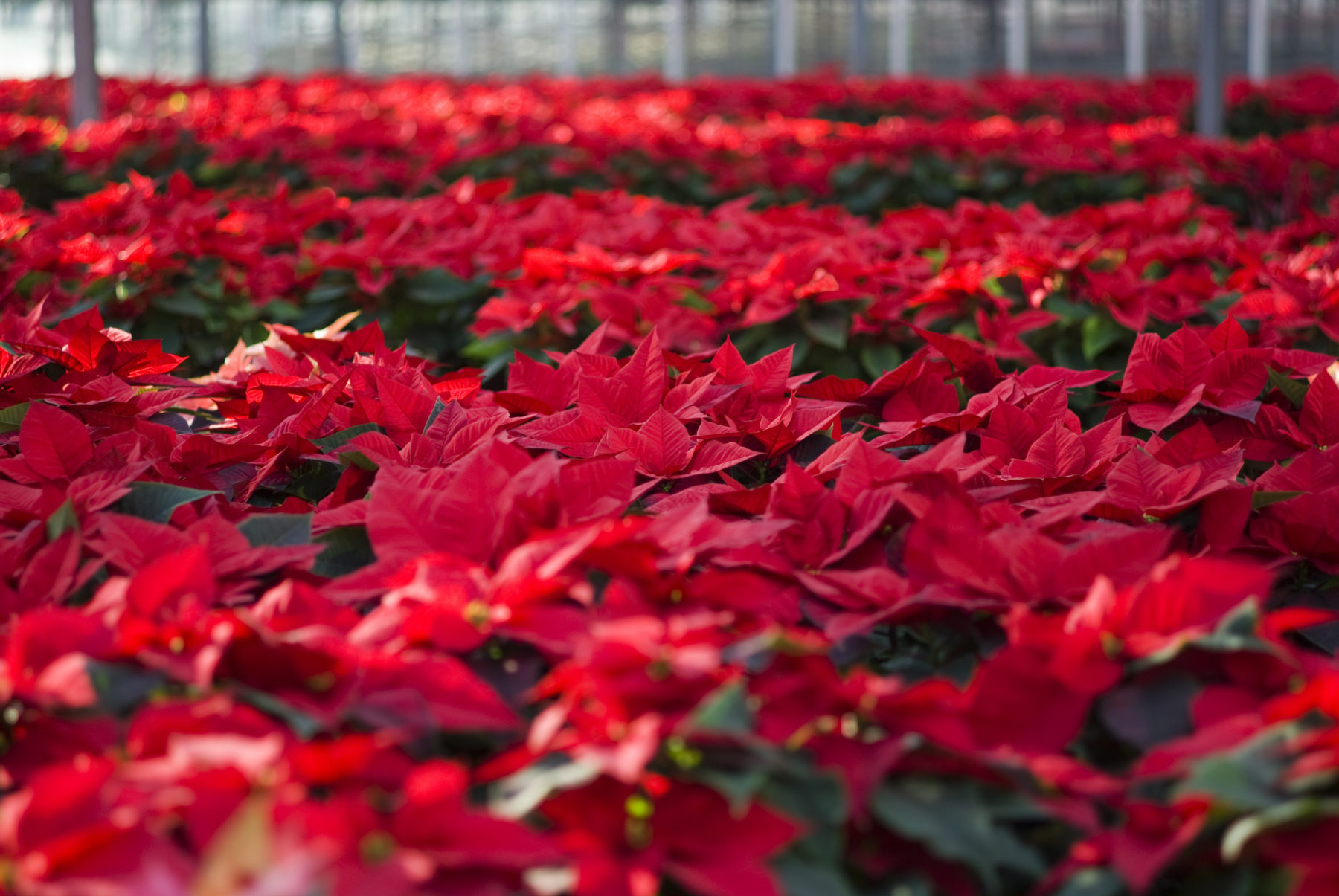 Poinsettias 101 Everything You Need To Know About This Christmas